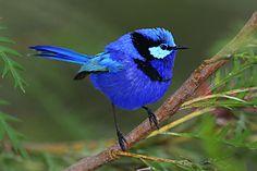 ✿ڿڰۣ(̆̃̃•Aussiegirl. Blue wren, found in the south west of Western Australia