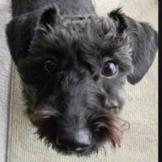 And then there is my smoochy who is a schnoodle/schnauzer we really don't know what she is we saved her but she's cute...and she weighs around 35lbs and growls she's not perfect but she is  almost 11 and still running strong...she was my first real pet dog that I have had...love her to death...<3