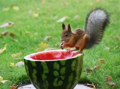 funny squirrel eating watermelon pics Dont Disturb These Animals These Are Very Busy in Eating Water Melon Pics) Eating Watermelon, Watermelon Art, Animal Eating, Baby Animals, Cute Animals, Chipmunks, Cat Memes, Beautiful Creatures, Mammals