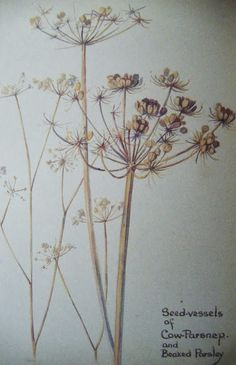 Edith Holden - - Seed-vessels of Cow Parsnep and Beaked Parsley