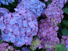 Posts about Dried flowers written by Woodleigh Nursery Hydrangea Macrophylla, Plant Catalogs, Shade Garden, Plymouth, Dried Flowers, Perennials, Photo Galleries, Nursery, Vegetables