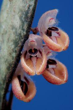 Orquídea en miniatura, especie de Trichosalpinx de Panamá.
