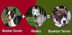 Discover The Loving Beagle Puppies Pitbull Husky, Malamute Husky, Husky Mix, Husky Cross Breeds, Beagle Puppy, Corgi, Mongrel, Collie Dog, Dog Park