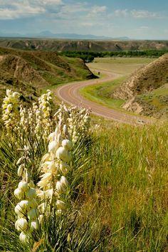 Yucca plants and the eastern Montana prairies