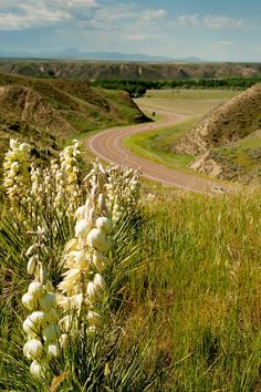 Yucca plants and the eastern Montana prairies