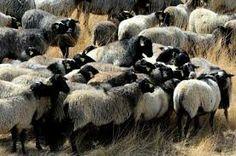 Romanov Koyunları Yetiştiriciliği Rus Romanov Koyunları ve Kuzuları satışını yapmaktayız. Romanov kuzuları, koyunları satış fiyatları için arayınız.
