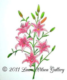 Pink Tiger Lily Original Pencil Drawing by LauraWilsonGallery