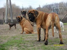 English Mastiff - Dogs