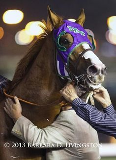 California Chrome, after he won the last stakes race at Hollywood Park, 12/22/14 (by Barbara Livingston)