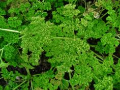 Cultivation of Parsley Herb