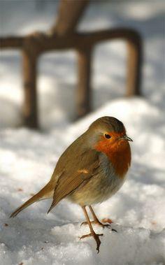 Robin, Rødkælk, Rødhals, bird, cute, nuttet, beauty, Winter, snow, photo