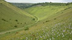 A sea of pink orchids at Devil's Dyke, West Sussex © Graham Wellfare - strange - this beauty spot on the outskirts of Brighton is classified as being in West Sussex even though it is considered part of Brighton which is in East Sussex!