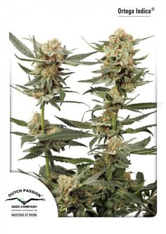 """Ortega Indica ® We consider Ortega Indica a medicinal cannabis variety. Ortega Indica is a hybrid of Northern Lights #1 and another strong Indica, It works as an effective sleeping pill and tranquilizer. Ortega Indica is special in that it's """"stone/high"""" does not have a cloudy """"morning after effect"""". In other words, the morning after smoking Ortega Indica, almost no cannabis effects are experienced any more. Smoke Ortega Indica and wake up with a clear mind."""