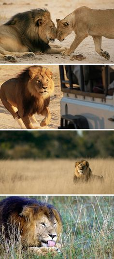 "The world says goodbye too soon to a well-loved and majestic icon. Cecil the lion was lured from his protected park, shot with a bow & arrow, was chased for 40 hours as her suffered, then finished off with a gun. He was then beheaded and skinned. A U.S. dentist paid $55,000 for the ""privilege"" of killing this amazing animal. RIP, Cecil."