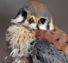 American Kestrel chick (by ml_thorsteinson)