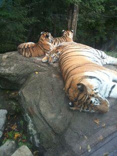 Cute tigers Cute Tigers, Animal Kingdom, Cats, Animals, Gatos, Animales, Animaux, Animal, Cat