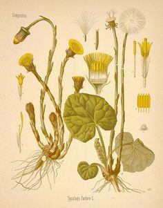 Coltsfoot:  A decoction is made of 1 OZ. of leaves, in 1 quart of water boiled down to a pint, sweetened with honey or liquorice, and taken in teacupful doses frequently. This is good for both colds and asthma.  Coltsfoot tea is also made for the same purpose, and Coltsfoot Rock has long been a domestic remedy for coughs.