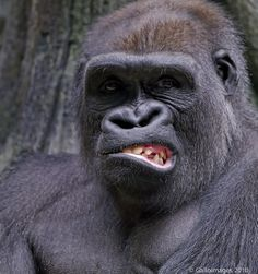 A very unhappy Silverback Gorilla Nature Animals, Animals And Pets, Baby Animals, Strange Animals, Wild Animals, Primates, Cute Funny Animals, Funny Animal Pictures, Photos Singe