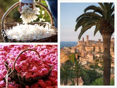 """Today's postcard is sent all the way from GRASSE, the """"world's capital of perfume"""" - just a 40 minutes drive from the French Riviera. In the pictures: Jasmine and rose picking in the Provence-Alpes-Côte d'Azur region; view towards Grasse in the Provence territory"""