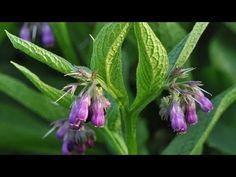 Comfrey (Symphytum officinale): Garden Herbs that Grow in the Shade Organic Fertilizer, Organic Gardening, Gardening Tips, Gardening Supplies, Organic Seeds, Grow Organic, Herbaceous Perennials, Herb Seeds, Medicinal Plants