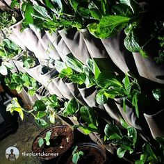repost via @theplantcharmer The season is coming to an end so the question is....who wants to learn to farm food indoors efficiently??  I will setup a 4X8 grow tent with metal halide HID lighting and show you things youve never seen before if this post ge