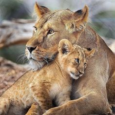 Cute Lion Cub And Her Mother 🦁❤️ ____________________________________________________ VideoCredit: ____________________________________________________ ____________________________________________________ Direct message for shoutouts/promos📩 Big Cats, Cats And Kittens, Cute Cats, Animals And Pets, Baby Animals, Cute Animals, Beautiful Cats, Animals Beautiful, Lioness And Cubs