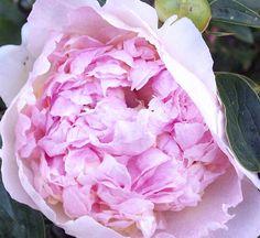 "Peony ""Raspberry Parfait"" - My garden, June 2011"