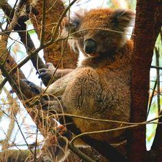 Leuk om Koala's in het wild te kunnen zien tijdens onze rit over de Great Ocean Road. #koala #wildlife #australia #greatoceanroad #gumtree #kennethriver by bram.riejanne