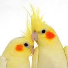 Beautiful yellow pair