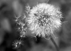 Szarnyalas a tudatossag utjan access consciousnessel Andival Access Consciousness, Dandelions, Plants, Animales, Flowers, Fotografia, Plant, Dandelion, Planets