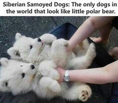 Siberian puppys