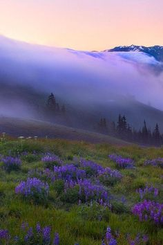 Give me odorous at sunrise a garden of beautiful flowers where I can walk undisturbed.  ~ Walt Whitman  ~ Image, Hurricane Ridge, Washington by Danny Seidman