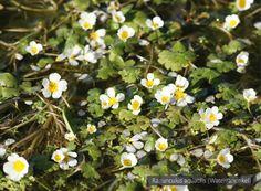 Ranunculus aquatilis (Waterranonkel)