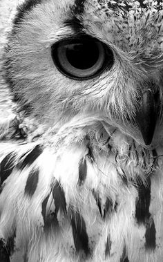 Black and white owl photo by Anya Adores.