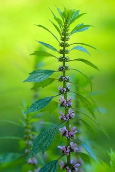 Motherwort -Leonurus cardiaca: for treating sharp moods, irritability and anger (combine it with vervain). Motherwort is taken as a tincture or tea to lessen pain, such as headaches, menstrual cramps and muscle sprains and aches. It is many women's ally in menopause for easing hot flashes and hormonally-induced irritability.