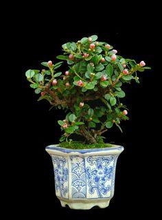 Flowering Cotoneaster Horizontalis