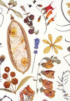 Rachel Pedder-Smith. Herbarium Specimen Painting