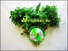 Di jual Bibit Gaharu jenis Aquilaria Malaccensis asli kalimantan. Bibit gaharu dari indukan yg sudah berumur 50 thun siap antar seluruh Indonesia. - Tinggi 20 sampai 50 cm harga Rp. 2.000,- / bibit - Tinggi 5 sampai 15 cm harga Rp. 1.000,-/ bibit (Ready Stocks) Lokasi : Banjarbaru (Kalimantan selatan) Contact Person : 085272223447 / 081953631776  http://bibitgaharuku.wordpress.com