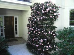 Camellia sasanqua 'Cotton Candy' used as an Espalier | CamelliaWeb Express (7 gallon - 2 plants - unknown where it is supposed to go)