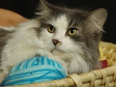 Missy is an adoptable Domestic Long Hair - Gray And White Cat in Indianapolis, IN. Meet Missy. She's quite a beauty. Missy likes to be pet and held. She is already spayed and front declawed. Missy pre...