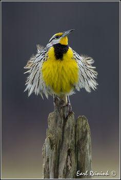 Eastern Meadowlark | by Earl Reinink