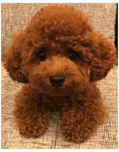 Teddy Bear Poodle, Mini Poodle Puppy, Teacup Poodle Puppies, Teddy Bear Puppies, Tea Cup Poodle, Teddy Bears, Teacup Poodle Full Grown, Miniture Poodle, Animals