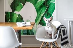 Exclusive: Tour Margo & Me's Hollywood Haven | DomaineHome.com // French bulldog, Margo, sitting on an Eames chair in Jenny Bernheim's home.