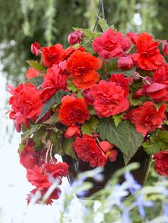 Time to Jump Start Your Tuberous Begonias - Longfield Gardens Best Indoor Hanging Plants, Tuberous Begonia, Cut Flower Garden, Container Plants, Hanging Baskets, Low Lights, Outdoor Projects, Cut Flowers, Plant Decor