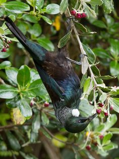 Adult feeding upside down on karo nectar. Photo by Martin Sanders South Pacific, Pacific Ocean, Birds Online, Bird Poster, State Of Arizona, Animal Antics, Kiwiana, Bird Pictures, Colorful Birds