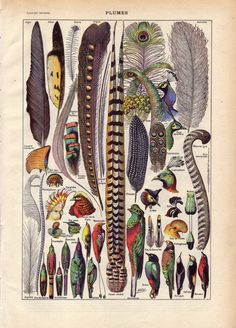 1922 French Dictionary Color Plate Illustration feathers