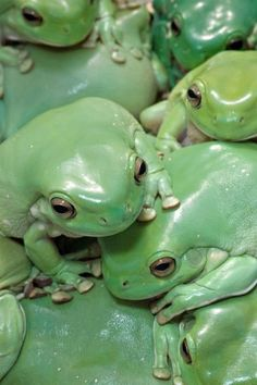 Pile of White's Tree Frogs (kinda creepy looking--milky)