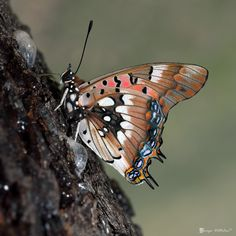 Pearl Spotted Charaxes