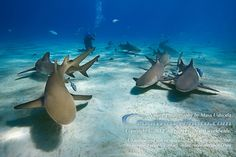 Shark Dives - Grand Bahamas. Absolutely awesome! You do not need to be afraid! Attacks are rare!