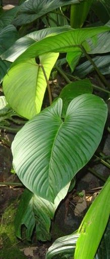 From a Costa Rican jungle...love the large leaves.